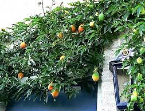 Fruitbomen op schoolplein